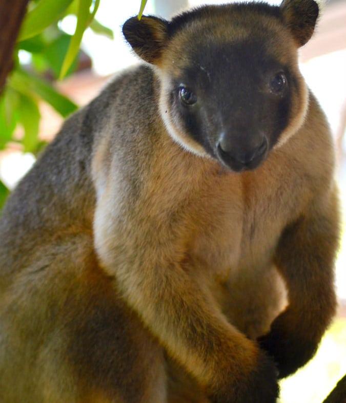 Queensland Wildlife Park - Wildlife Habitat Lumholtz Tree Kangaroo