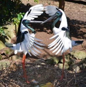 Black-necked storks2