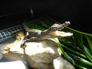 Port Douglas Wildlife Habitat - Crocodile brought into care at Wildlife Care Centre in Port Douglas