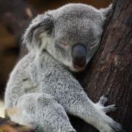 image library - Wildlife Habitat - Koala