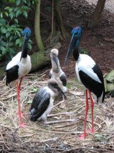Black-Necked Storks