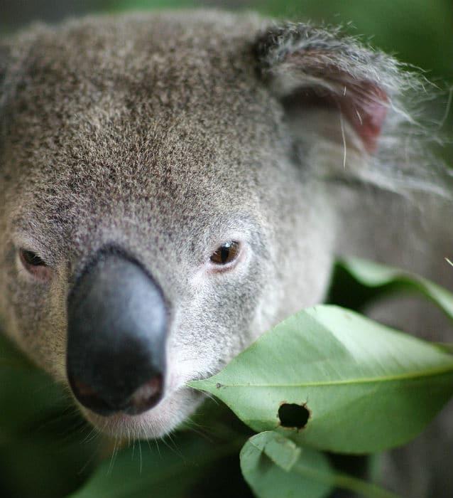 koala-park