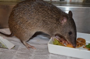 Port Douglas Wildlife Habitat - Northern Brown Bandicoot being cared for at Wildlife Habitat Care Centre