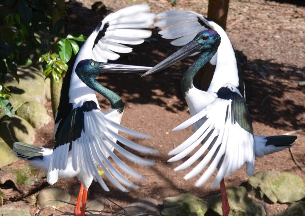 Black-necked stork breeding display at Wildlife Habitat