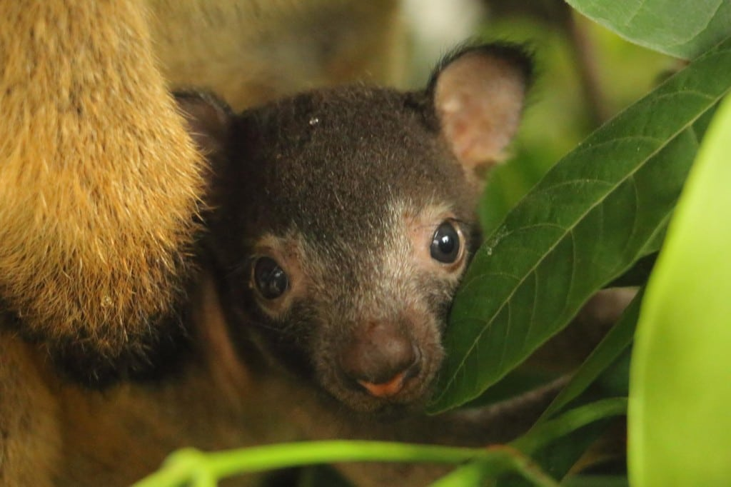 Lumholtz's Tree-kangaroo joey born at Port Douglas zoo