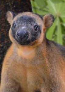 Rare Australian animals Lumholtz's Tree-kangaroo