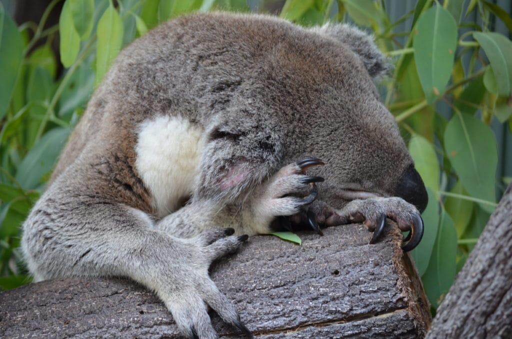 Koala's spend approx 18-20 hours sleeping each day