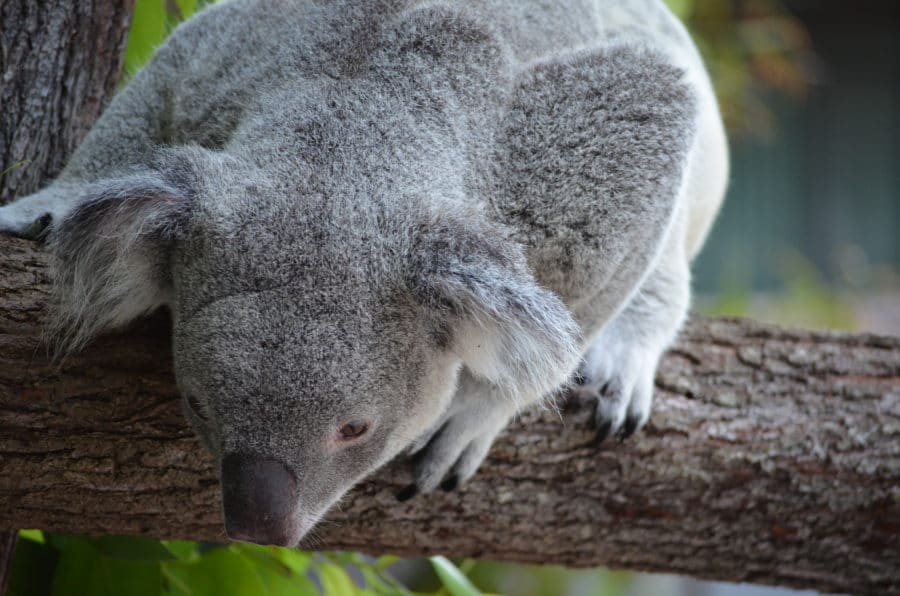 The koala has a heightened sense of smell and hearing