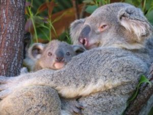 Koala young are called joeys