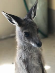 eastern grey kangaroo joey