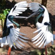 image library - Wildlife Habitat - Black-necked storks