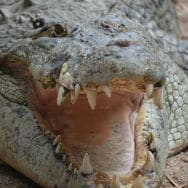 image library - Wildlife Habitat - Crocodile