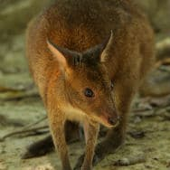image library - Wildlife Habitat - Wallaby