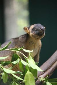 Wildlife Habitat Lumholtz Tree Kangaroo