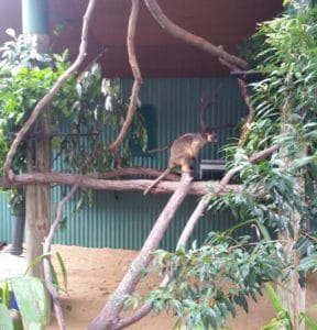 Colin the Tree Kangaroo