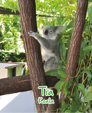 adopt an animal koala