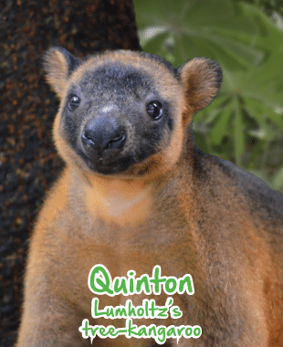 adopt an animal tree kangaroo