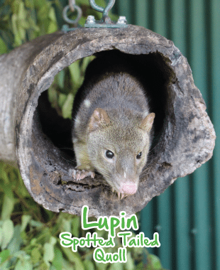 adopt an animal quoll