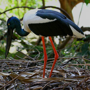 jabbie black neck stork wildlife habitat