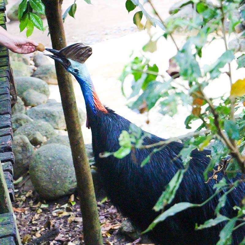cassowary feeding presentation wildlife habitat port douglas
