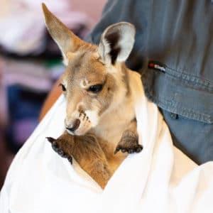 rescue kangaroo joey wildlife habitat port douglas