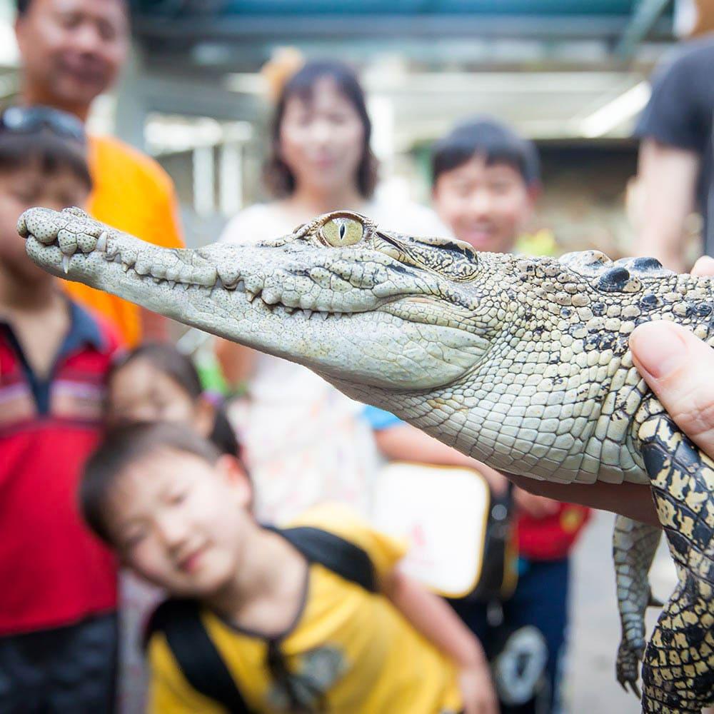 small crocodile in reptile presentation