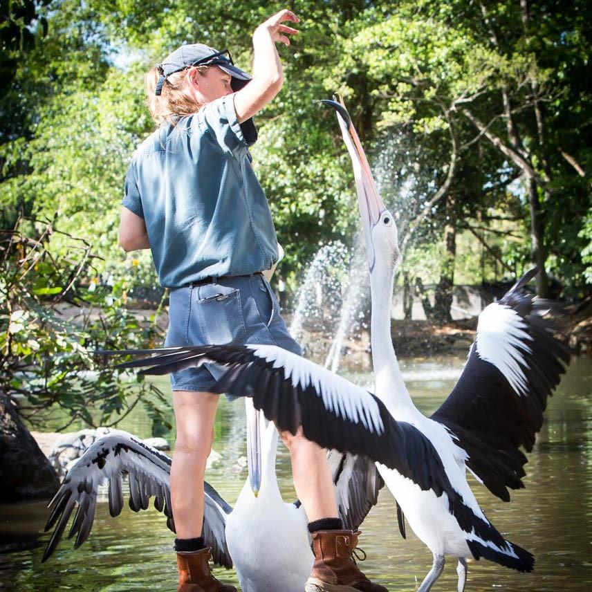 zoo keeper feeding pelican wildlife habitat port douglas