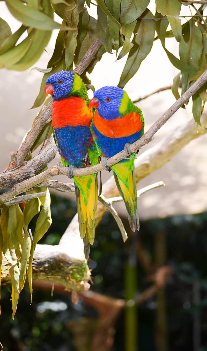 wildlife habitat rainbow lorikeets