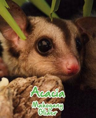 adopt an animal glider