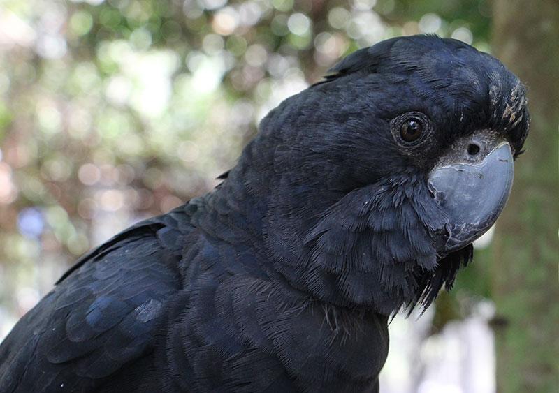 elvis black cockatoo wildlife habitat port douglas