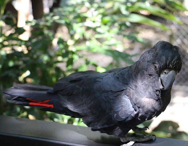 elvis black cockatoo wildlife habitat