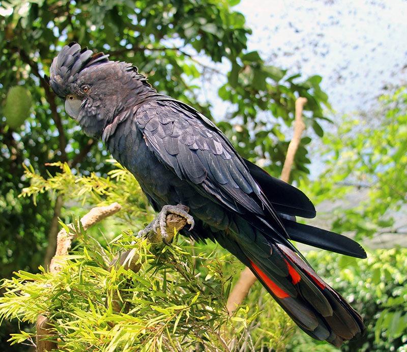 elvis red tailed black cockatoo wildlife habitat port douglas