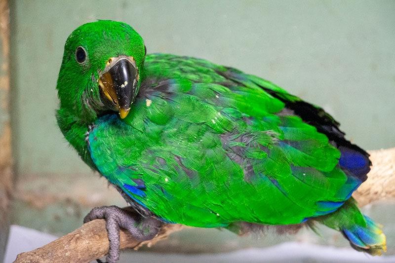 baby eclectus parrot tropical animal rehabilitation centre